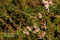 Eriogonum fasciculatum Warriner Lytle, Warriner Lytle California Buckwheat