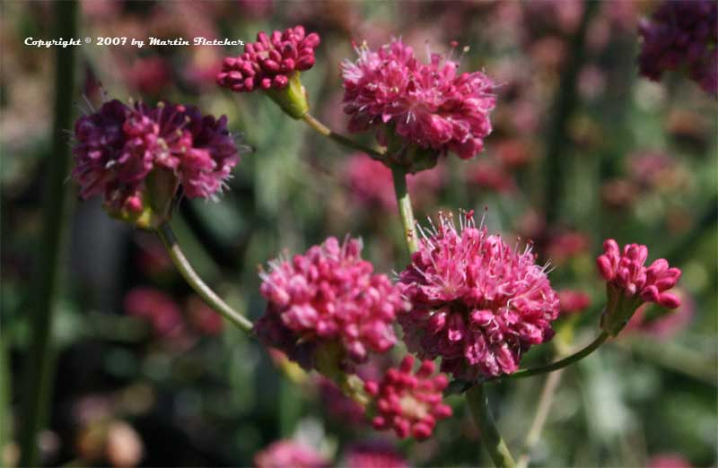 Eriogonum grande rubescens, Red Buckwheat