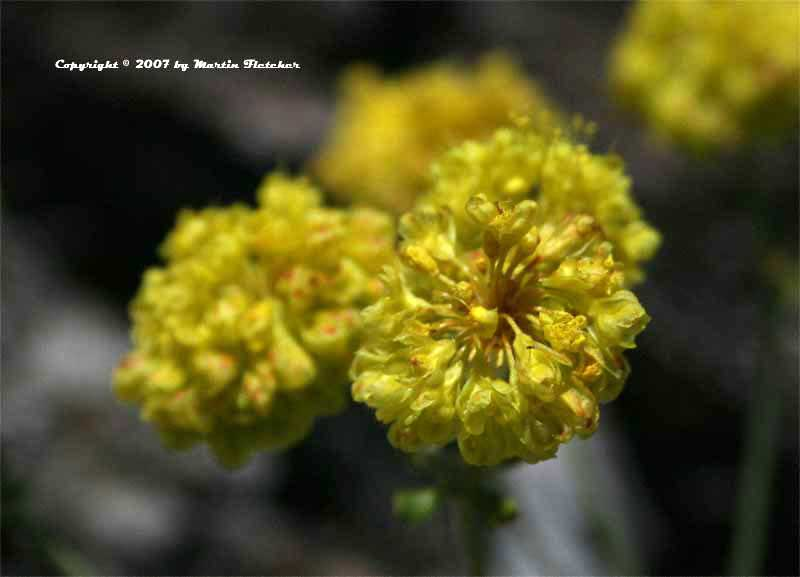 Eriogonum incanum, Frosted Buckwheat
