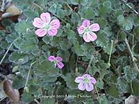 Erodium reichardii Bishop, Pink Storksbill