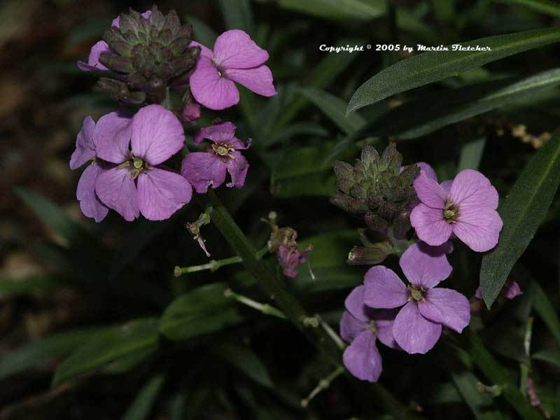 Erysimum Bowles Mauve, Purple Wall Flower