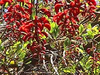Erythrina falcata, Brazilian Coral Tree