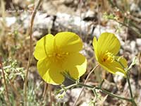 Eschscholzia caespitosa, Tufted Poppy, Foothill Poppy