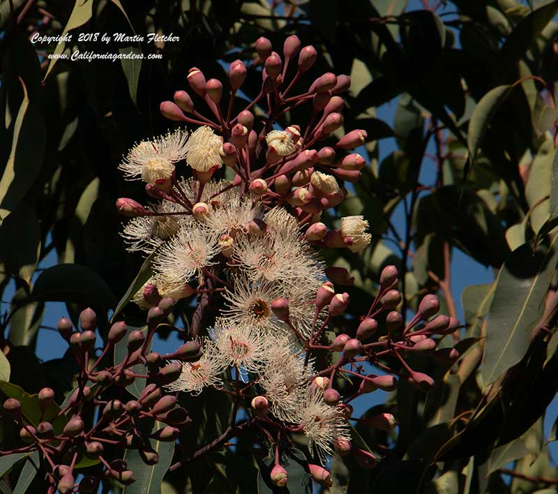 Eucalyptus ficifolia, Red Flowering Gum, White Flowers