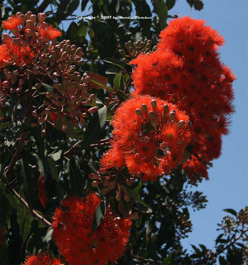 Eucalyptus ficifolia, Red Flowering Gum