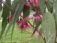 Eucalyptus sideroxalon, Red Ironbark
