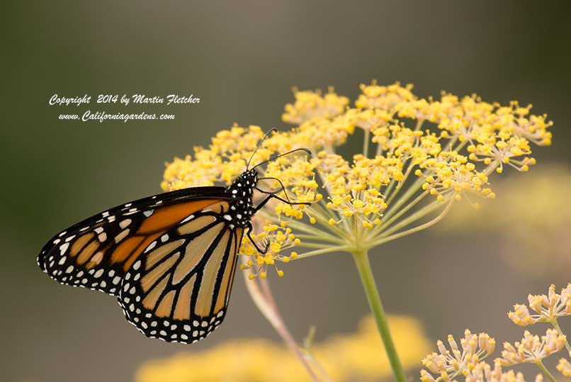 Bronze Fennel in a Butterfly Garden
