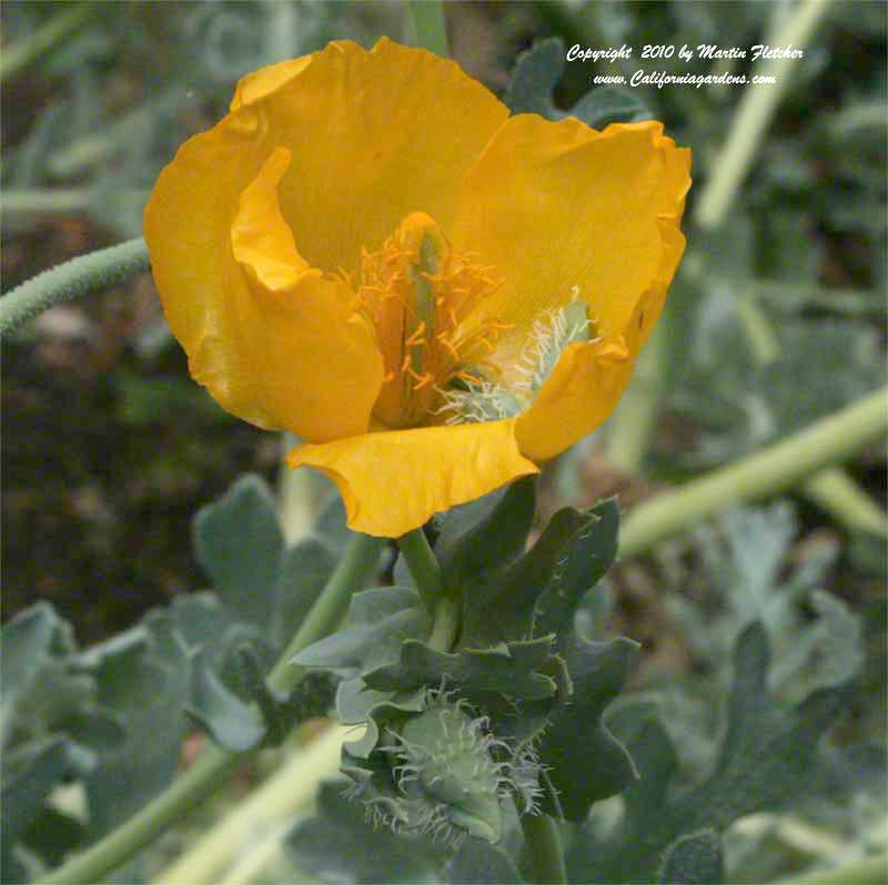 Glaucium flavum, Yellow Horned Poppy, Hornpoppy