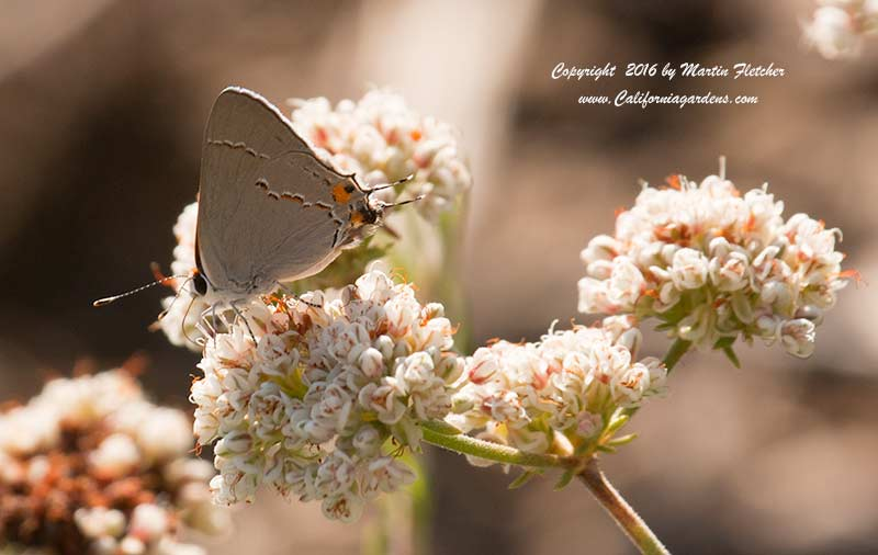 Gray Hairstreak, Strymon melinus