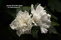Hibiscus syriacus Jeanne d Arc, Double White Rose of Sharon