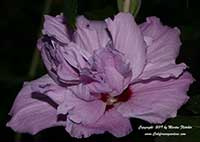 Hibiscus syriacus Lavender Chiffon, Semidouble Pink Rose of Sharon