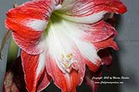 Hippeastrum Red White, Red White Amaryllis