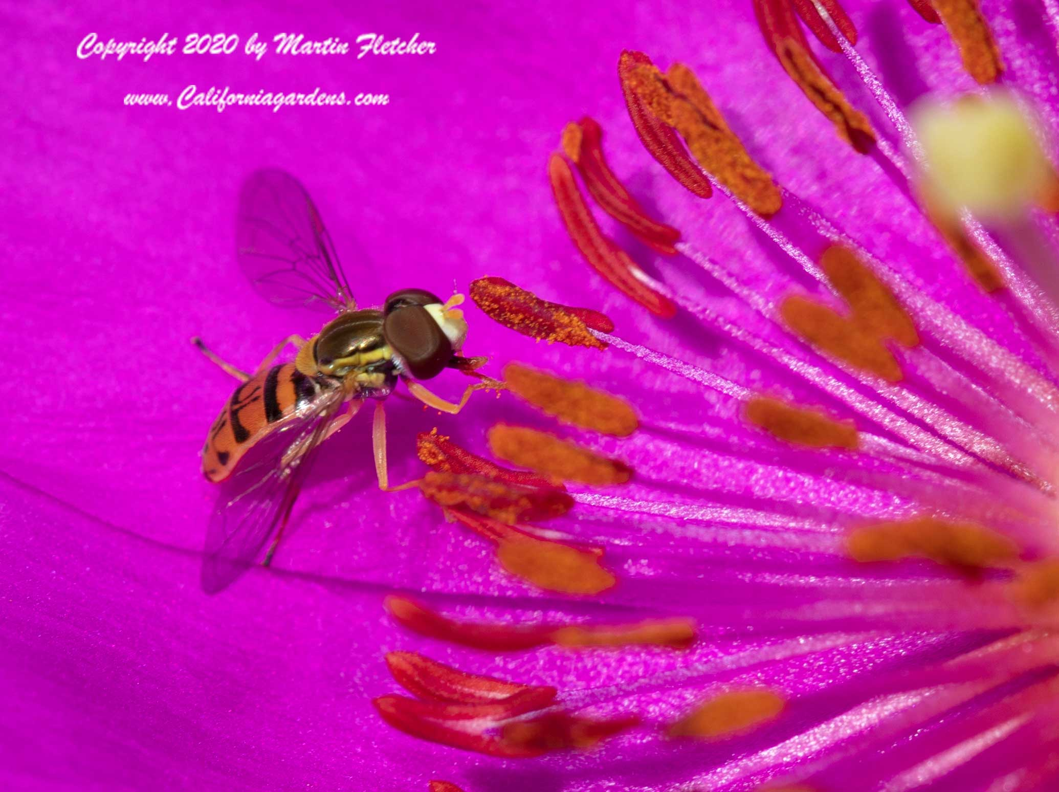 Hover Fly Pollen, Flower Fly, Syrphid, Toxomerus marginatus