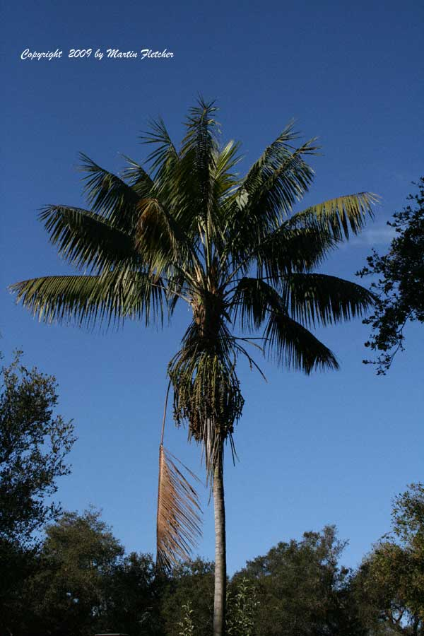 Howea forsteriana, Kentia Palm
