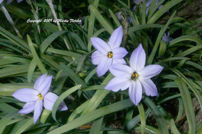 Ipheion uniflorum, Spring Star Flower