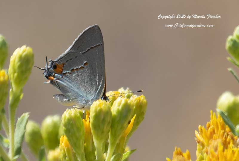 Isocoma menziesii, Coastal Goldenbush, Gray Hairstreak