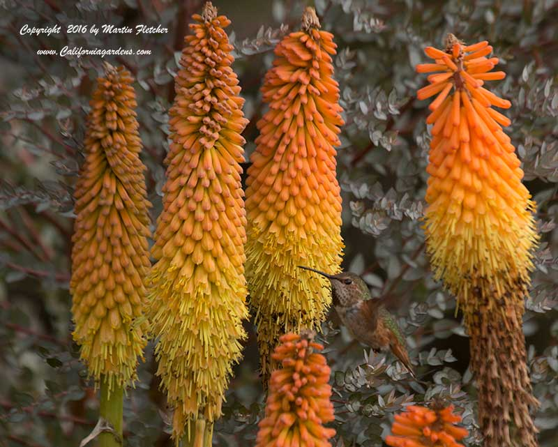 Kniphofia Blaze, Red Hot Poker