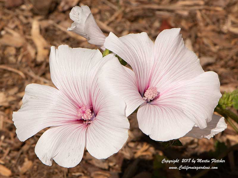 Lavatera trimestris Pink Blush, Annual Mallow