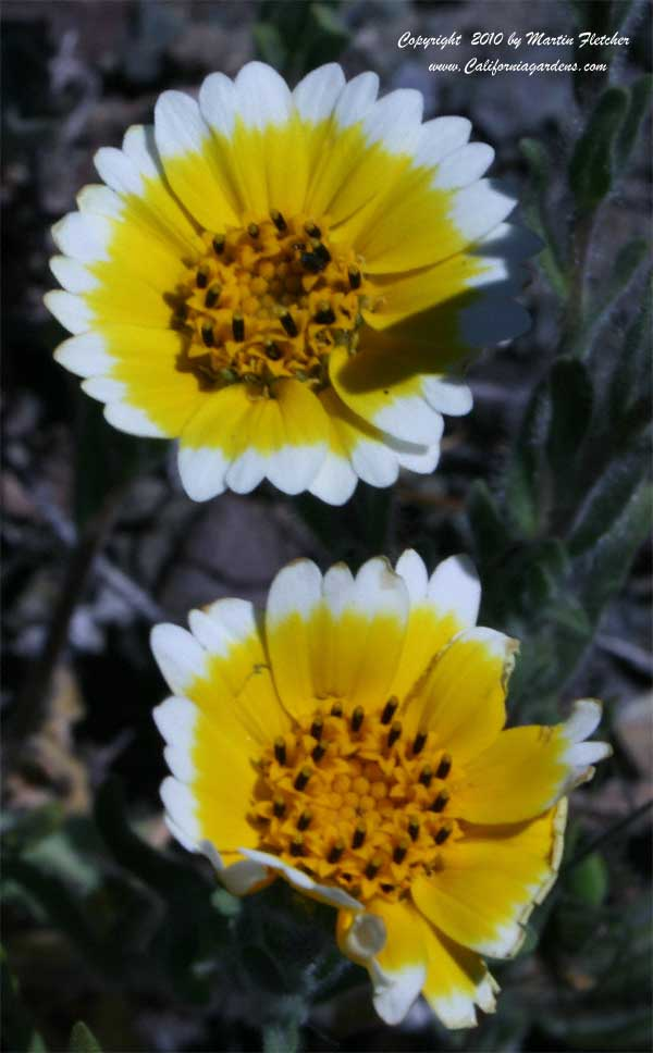 Layia platyglossa, Tidy Tips