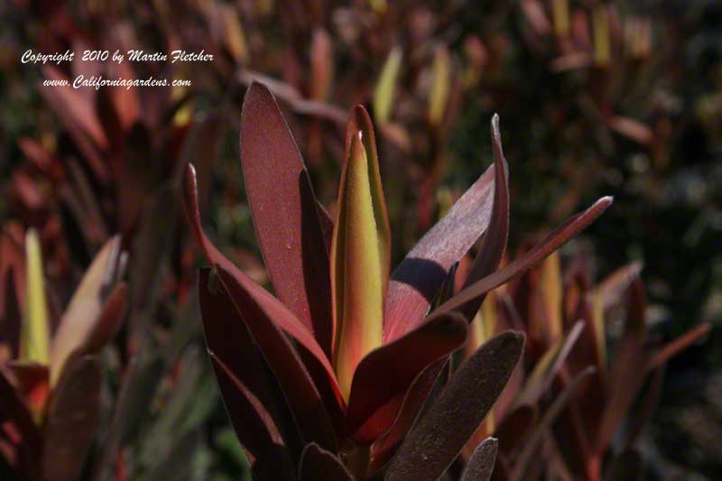 Leucadendron Safari Sunset, Safari Sunset Cone Bush