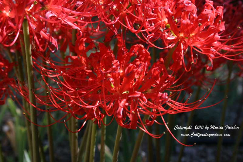Lycoris radiata, Red Spider Lily