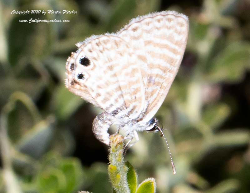 Marine Blue Butterfly, Pickeringia montana, Chaparral Pea