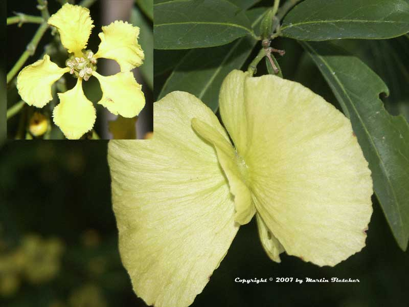 Mascagnia macroptera, Butterfly Vine