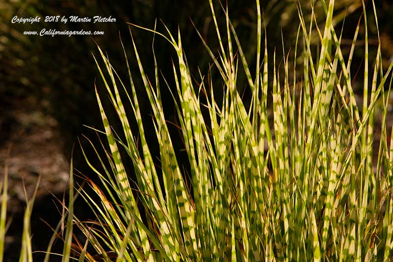 Miscanthus Gold Bar, Gold Bar Maiden Grass
