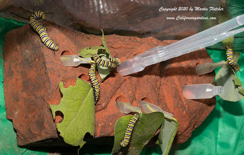 Monarch Caterpillar Feeding Brick