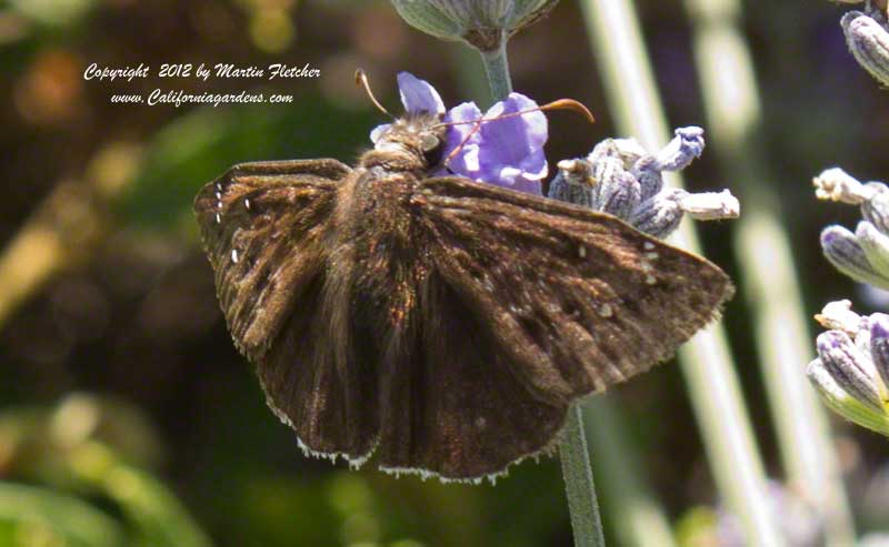 Mournful Duskywing, Erynnis tristis