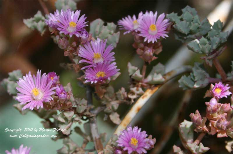 Oscularia deltoides, Pink Iceplant