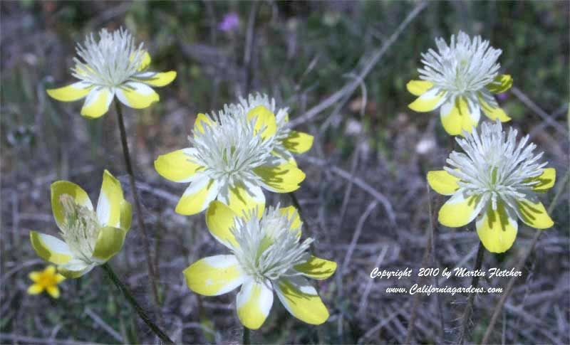 Platystemon californicus, Cream Cups