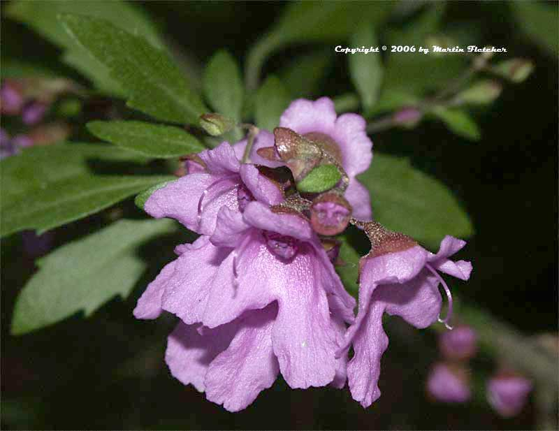 Prostanthera ovalifolia, Mint Bush