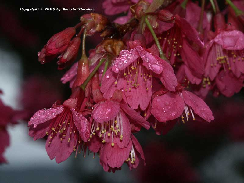 Prunus campanulata, Taiwan Flowering Cherry