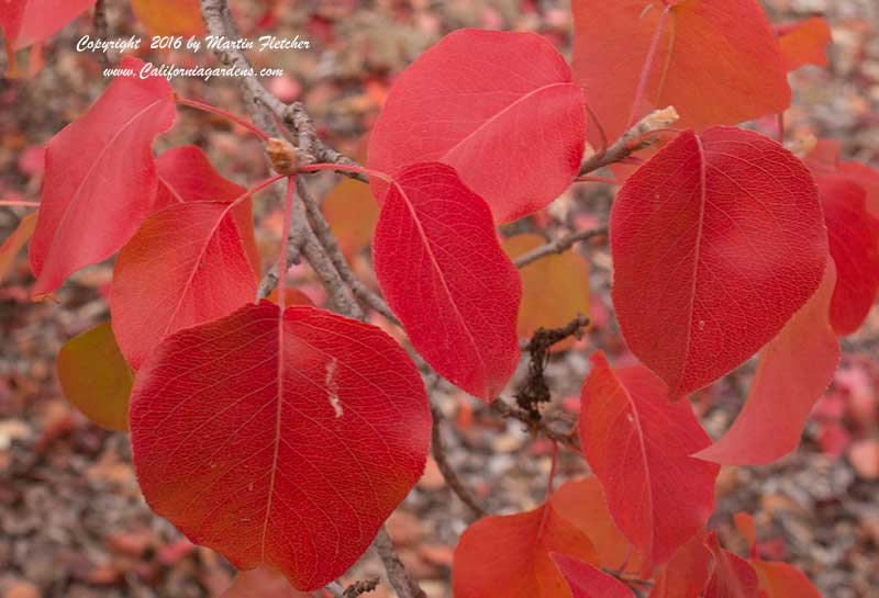 Pyrus calleryana, Bradford Pear Fall Color