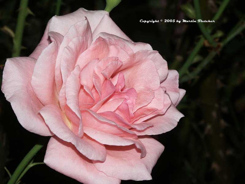 queen elizabeth rose grandiflora california gardens. Black Bedroom Furniture Sets. Home Design Ideas