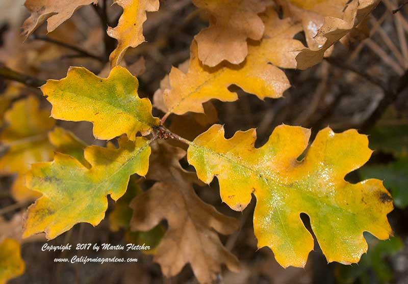 Quercus kelloggii, Fall Gold, Maple Leafed Oak
