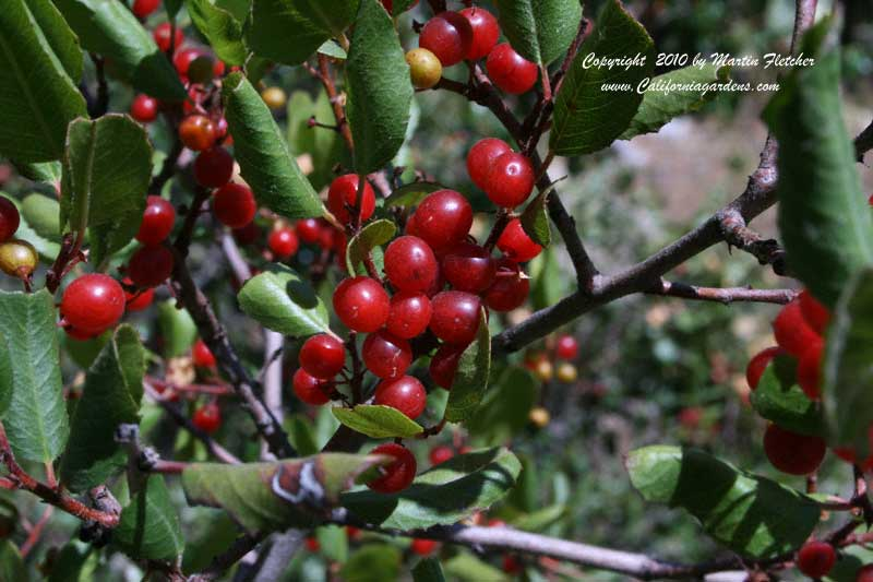 Rhamnus crocea, Red Berry