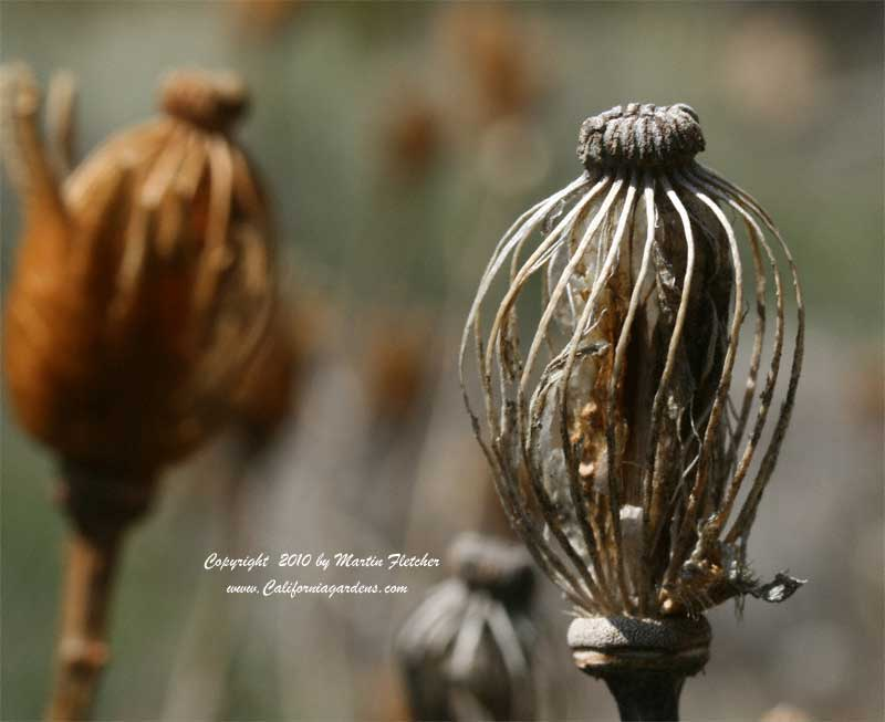 Romneya coulteri, Bird Cage Seed Pod