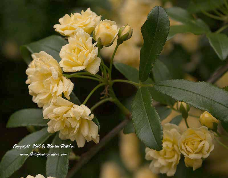 Rosa banksiae lutea, Yellow Lady Banks Rose
