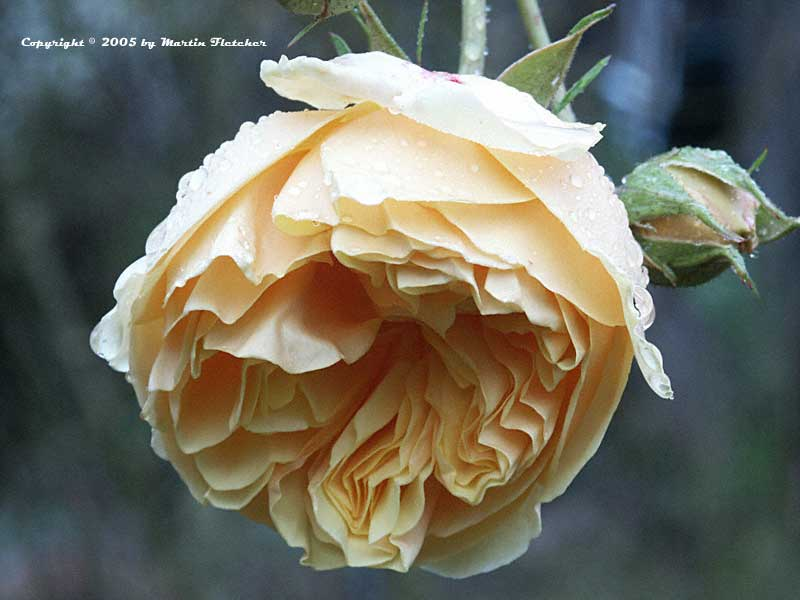 David Austin Rose, English Rose, Romantica Rose