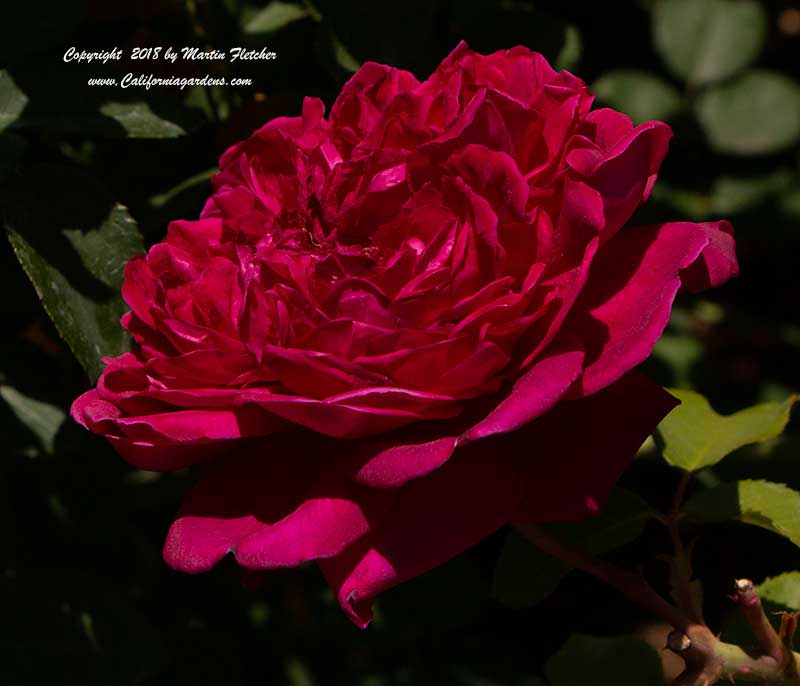 David Austin Rose William Shakespeare