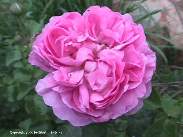 Image of the Charles Rennie MackIntosh Rose