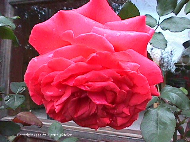 Image of the Fragrant Cloud Rose