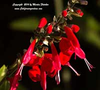 Salvia coccinea Lady in Red, Texas Sage, Scarlet Sage