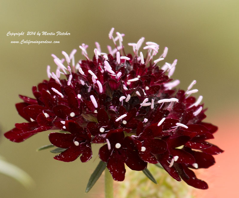 Scabiosa atropurpurea Black Knight, Black Knight Pincushion Flower