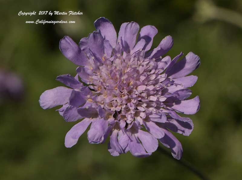 Scabiosa columbaria Butterfly Blue, Dove Pincushion Flower