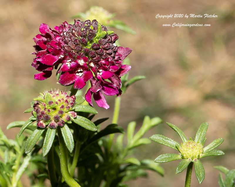 Scabiosa atropurpurea Royal Ruby, Royal Ruby Pincushion