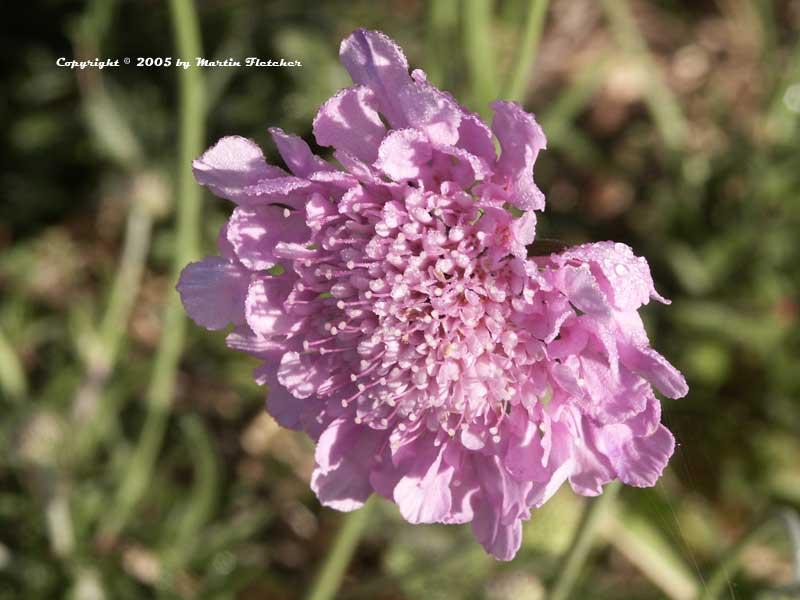 Scabiosa columbaria Pink Mist, Dove Pincushion Flower