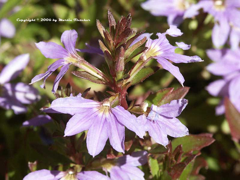 Scaevola Blue Wonder, Fairy Fan Flower